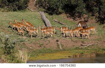 A herd of impala (Aepyceros melampus) on the banks of the Ewaso Nyiro River. Ol Pejeta Conservancy, Kenya.