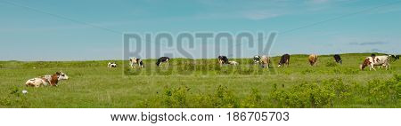 Cow chewing grass and grazing on farmland.