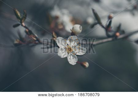 Almond tree flower background. Almond flower in vintage style. Prunus dulcis. Vintage flower texture and background. Closeup view of almond tree flower in vintage style. Moody nature. Somber nature.