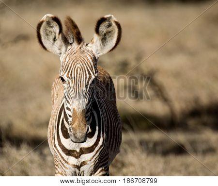 A baby Grevy's zebra (Equus grevyi). Ol Pejeta Conservancy Kenya.