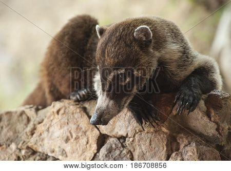 Male white nosed coati lays relaxing on a rock retaining wall