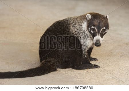 Male white nosed coati sits with a plain beige concrete background