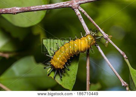 Callizygaena Ada (zygaenidae) Caterpillar
