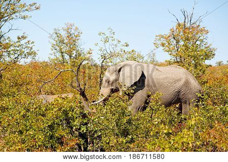 In South Africa     Wildlife  Nature  Reserve And   Elephant