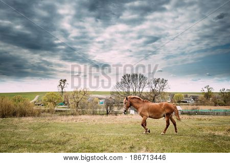 Red Horse Grazing On Green Grass In Spring Meadow Of Belarus.