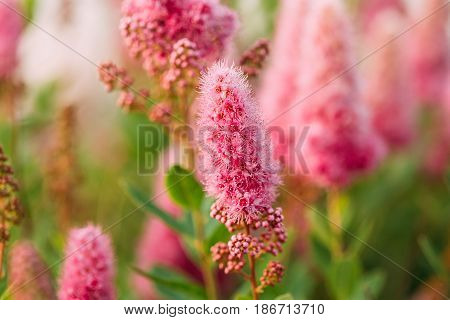 Pink Spirea Flowers On Bush At Spring. Spiraea Flowers Are Highly Valued In Decorative Gardening And Forestry Management. The Plant Is Widely Used In Landscaping And Organizations Hedges.