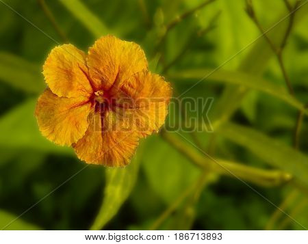 Golden flower. Yellow predominant color overall. Beautiful flower colseup. Five petals