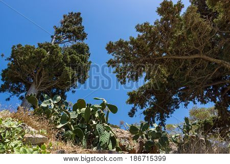 Cactus and cypress trees on a hillside against the blue sky.