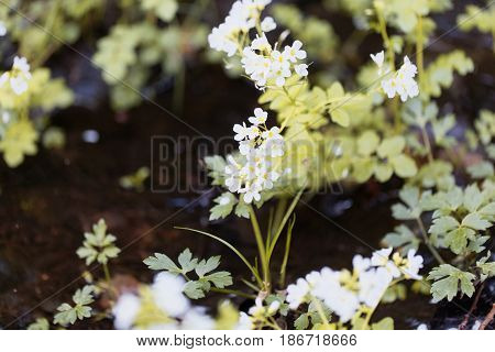 Flower of a large bitter cress (Cardamine amara)