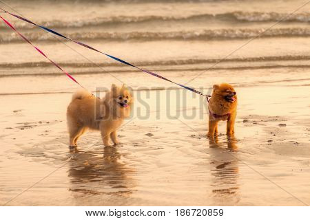 Two intercourse dogs are walking on the beach in the evening.