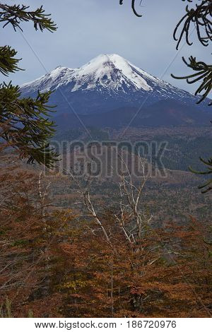 Snow capped peak of Volcano Llaima (3125 meters) in Conguillio National Park in southern Chile. Araucania Trees (Araucaria araucana) in the foreground.