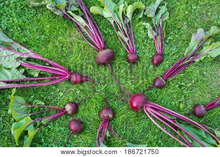 Fresh beetroots and mangold leaves laied on green grass. Vegetables background. From above. Concept.