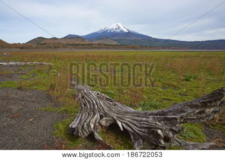 Snow capped peak of Volcano Llaima (3125 meters) in Conguillio National Park in southern Chile. Remains of dead trees on the shore of Lago Conguillio in the foreground.