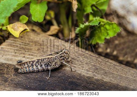 Crippled big brown locust in the wild. Calliptamus italicus.