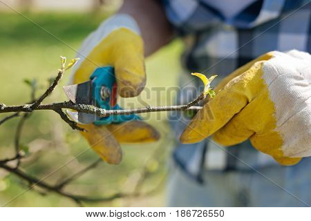 Taking care of environment. Male hands in gloves holding a pair of secateurs and pruning a fruit tree in a garden