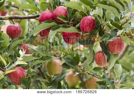bunch of red gala apple on a tree