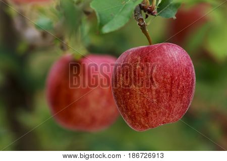 red apples gala on apple tree branch
