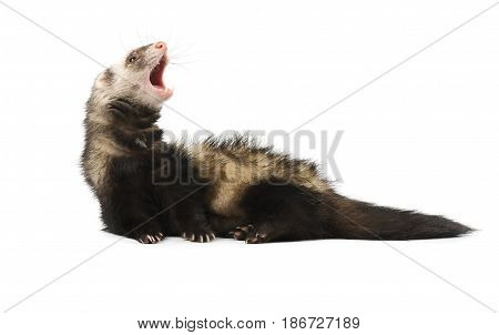 Evil grey ferret in full growth lies, isolated on white background
