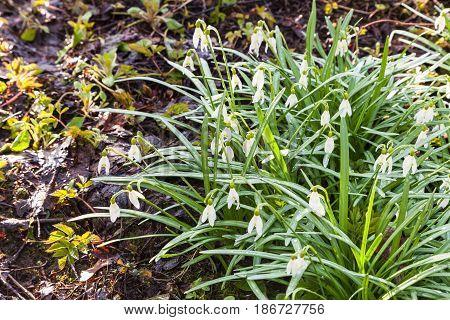 Bush Of White Snowdrop Flowers On Wet Land