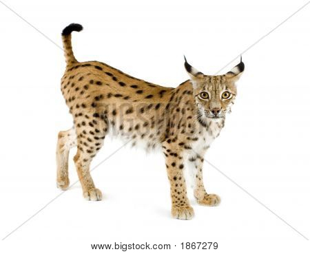 Lynx in front of a white background poster