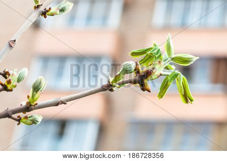 Twig Of Horse Chestnut Tree In City In Spring Day