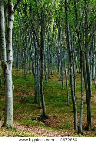Beechen summer wood
