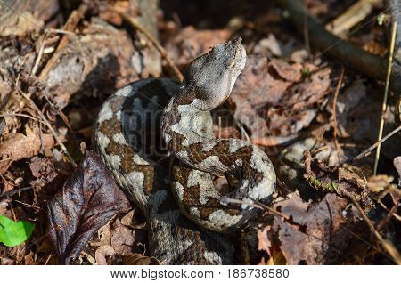Gray Vipera ammodytes hidden in dry leaves upset and ready to attack in a typical springs position