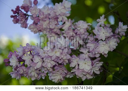 Spring flowering of fragrant lilac with green leaves in the garden