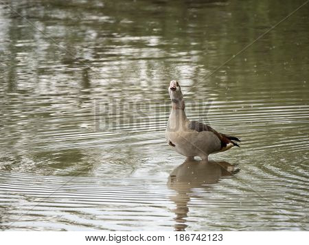 egyptian goose stands in the water near the lake shore on a cloudy day