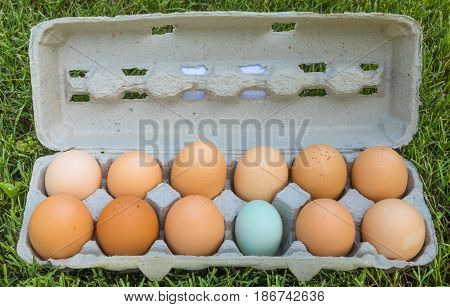 A dozen eggs in a grey carton on grass with 11 brown and 1 blue