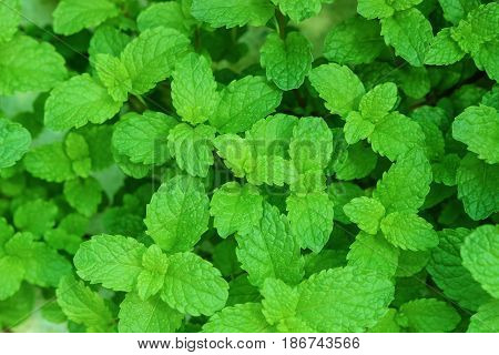 Closeup of Green peppermint leaves for background