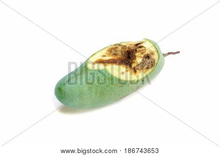 Rotten mango with wormholes caused by pest insect (Drosophila Melanogaster)