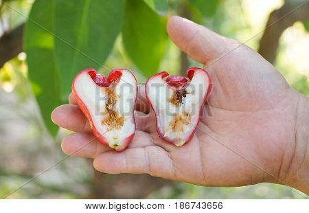 Farmer's hand holding a rotten rose apple from the inside due to oriental fruit fly (Bactrocera dorsalis Hendel)