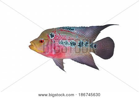 Female Cichlidae / Flowerhorn Crossbreed Fish isolated