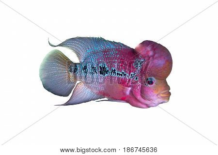 Male Cichlidae / Flowerhorn Crossbreed Fish isolated