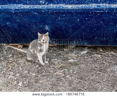 Dirty homeless cat in front of blue wall of trash dumpster. Homeless animals needs care and adoption.