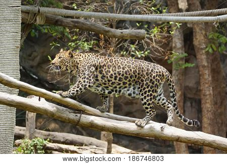 A fully grown leopard climbing on the tree
