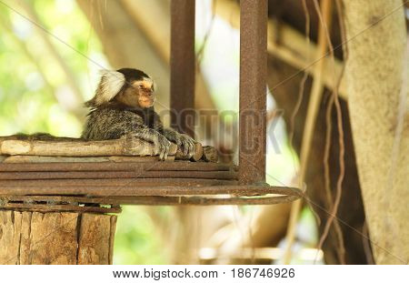 A Common Marmoset lying on the tree