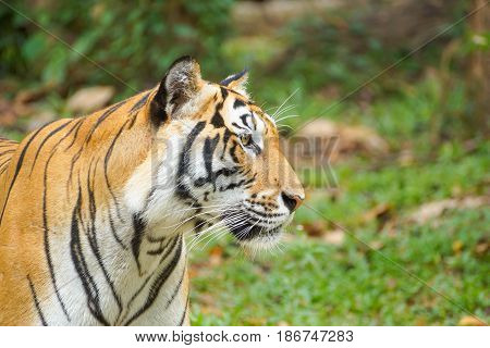 A Bengal Tiger in an open zoo