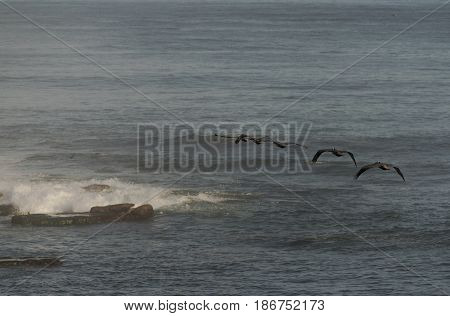 Five Brown Pelicans Flying Over the Pacific Ocean in La Jolla, California, USA