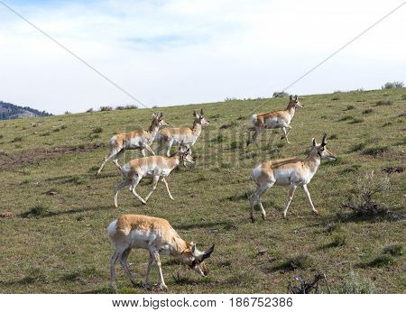 Herd of pronghorn antelope grazing on grassland in Lamar Valley, Yellowstone National Park. Photographed in natural light.