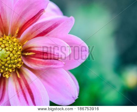 Close up of flower with bright and bold colours in spring garden