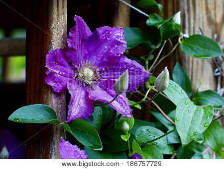 Single bloom of a Purple Clematis with buds after a rain along porch rail