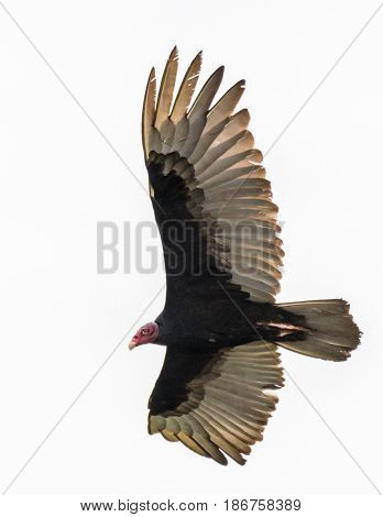 Turkey vulture with spread wings soaring across a white sky in Costa Rica
