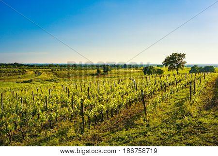 Bolgheri vineyard trees and sea on background. Maremma panorama springtime Tuscany Italy Europe.
