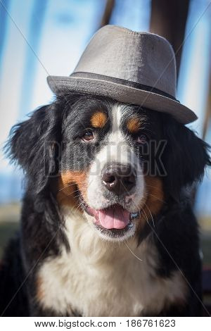 bernese mountain dog in hat looking at camera