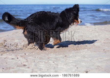 bernese mountain dog plays at sunny sea beach