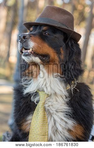 bernese mountain dog in hat closeup portrait