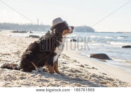 bernese mountain dog sitting at sunny sea beach