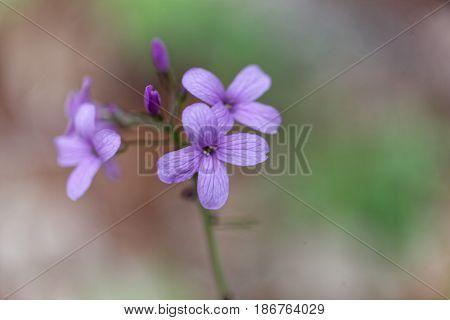 A flower of bulbiferous coralwort (Cardamine bulbífera)